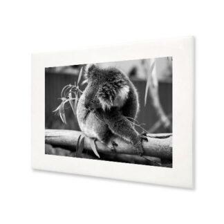 Obraz koala